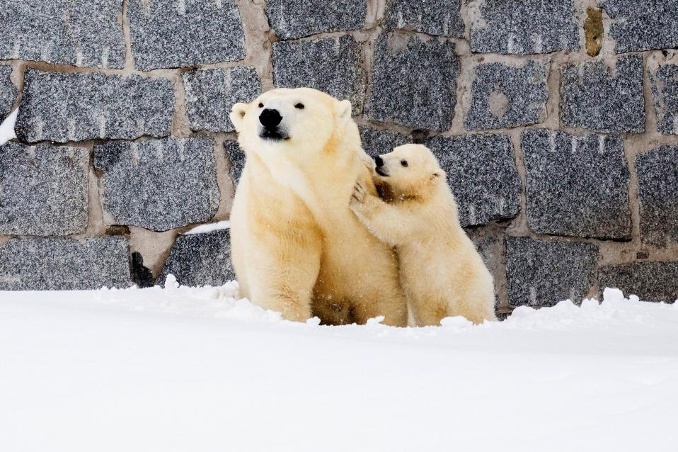 Χειμώνας τέλος. Ξύπνησαν για τα καλά οι αρκούδες, με την Venus να κάνει την πρώτη της ανοιξιάτικη βόλτα μαζί με το μικρό της, στον ζωολογικό κήπο της Ranua στην Φινλανδία.  Marko Juntilla/Ranua Wildlife Park/Handout via REUTERS