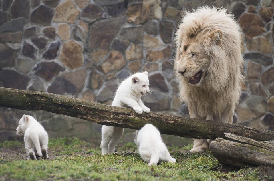 Σπάνια μωρά. Δεν φτάνει που είναι τρίδυμα, ανήκουν και στο είδος των σπάνιων λευκών λιονταριών (Panthera leo krugeri). Τα μικρά γεννήθηκαν στις 8 Ιανουαρίου και παρουσιάστηκαν στο κοινό για πρώτη φορά στον ζωολογικό κήπο Nyiregyhaza της Ουγγαρίας υπό το αυστηρό βλέμμα του πατέρα τους Inkosi. Τα λευκά λιοντάρια υπάρχουν πια μόνο σε ζωολογικούς κήπους και πάρκα, καθώς η τελευταία φορά που απαντήθηκαν στην φύση ήταν το 1994. EPA/ATTILA BALAZS