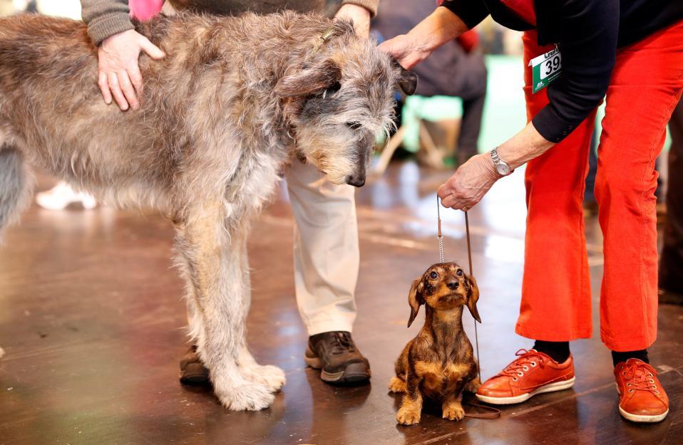 Στα άκρα. Ενα Ιρλανδέζικο Wolfhound  και ένα Dachshund φωτογραφίζονται μαζί στην Crufts Dog Show που διοργανώνεται στο Birmingham με τεράστια συμμετοχή. REUTERS/Darren Staples