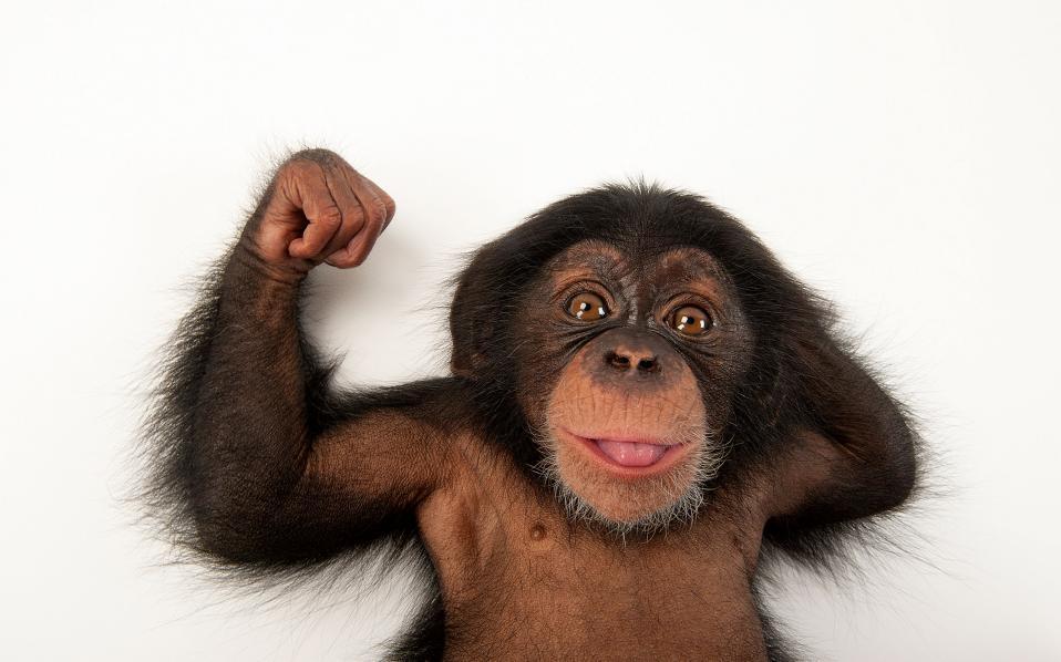 Ενας 3 μηνών χιμπαντζής ποζάρει με άνεση στον φακό του Σαρτόρε.