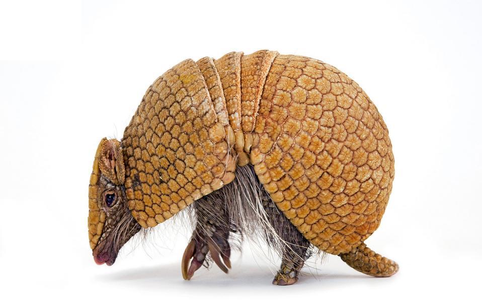 Αρμαντίλο: μικρό θηλαστικό, του οποίου το σώμα καλύπτεται από οστεώδες κέλυφος.