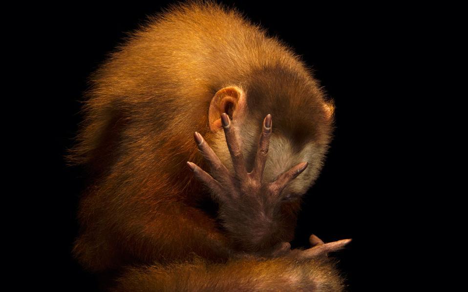 Πίθηκος καπουτσίνος σε  μια... θεατρική πόζα.