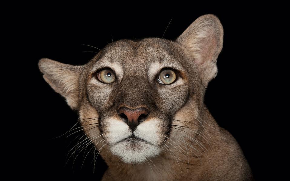 Ο πάνθηρας της Φλόριντας: υπολογίζεται πως μόνο 165 ζουν πια ελεύθεροι στη φύση.