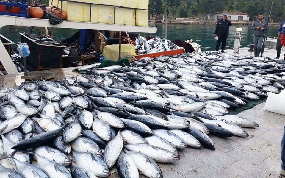 Και ξαφνικά, η προβλήτα στο λιμάνι του Γαλαξιδίου γέμισε ψάρια! Ενα γρι γρι ξεφόρτωσε περίπου πέντε τόνους «ντάσκες», ένα ψάρι που μοιάζει πολύ με τον τόνο, σοκάροντας τους κατοίκους, οι οποίοι μιλούν για οικολογική καταστροφή. Φορείς της περιοχής ζητούν να ξεκαθαριστεί εάν το γρι γρι «στρίμωξε» το κοπάδι μέσα στον κόλπο του Γαλαξιδίου, όπου απαγορεύεται το ψάρεμα με μηχανικά μέσα.