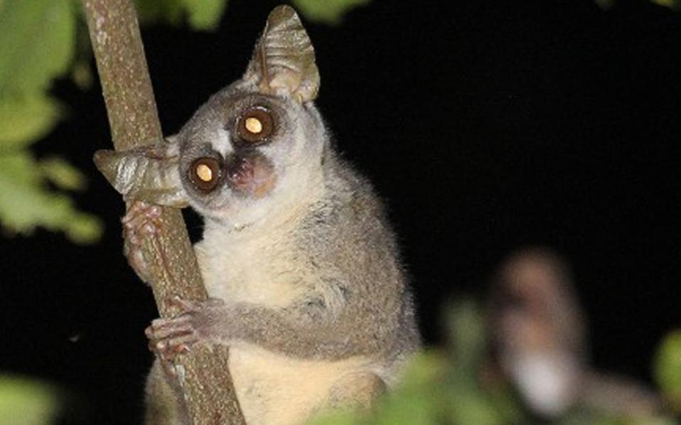 Νέο είδος πρωτεύοντος βρέθηκε από επιστήμονες στην Ανγκόλα.