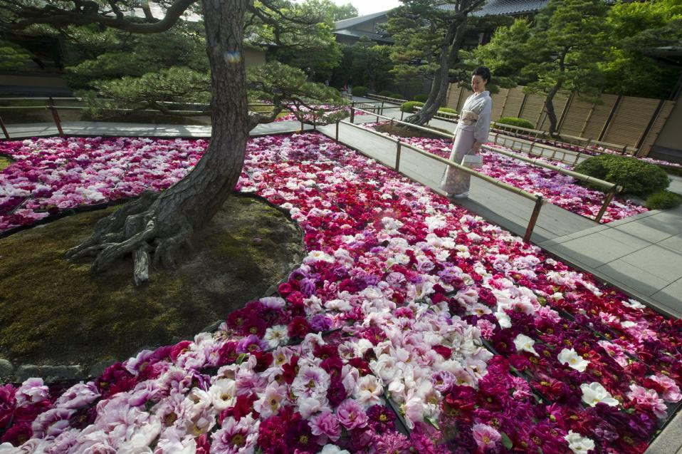 Η εποχή της παιώνιας. Από τα μέσα του Απρίλη μέχρι το τέλος του Μαΐου είναι η εποχή της ανθοφορίας αυτού του πανέμορφου λουλουδιού με την μεγάλη γκάμα χρωμάτων που λατρεύει το κρύο. Η πόλη Matsue στην Ιαπωνία είναι η μεγαλύτερη παραγωγός  παιώνιας και κάθε χρόνο τέτοια εποχή ''θυσιάζει'' 20.000 λουλούδια για να στολίσει τις λιμνούλες των κήπων της πόλης.  EPA/EVERETT KENNEDY BROWN