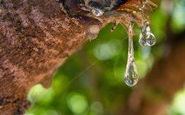 Ο μαστιχοφόρος σκίνος (Pistacia Lentiscus var. Chia), που ευδοκιμεί μόνο στη νότια Χίο, έτοιμος να τον... πιεις στο ποτήρι.