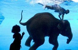 Κολυμπούν οι ελέφαντες; Και βέβαια κολυμπούν μάλιστα κάνουν και βουτιές! Η οχτάχρονη ελεφαντίνα Seen Dao κάνει το «νούμερό» της στον ζωολογικό κήπο του Khao Kheow στην Ταϊλάνδη. Σκοπός της παράστασης όχι μόνο να ψυχαγωγήσει τους επισκέπτες, αλλά να τους διδάξει και κάτι από την ζωή των παχύδερμων. EPA/RUNGROJ YONGRIT