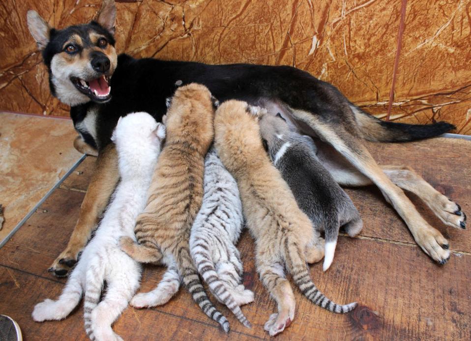 Δανεική μάνα. Τέσσερα τιγράκια γεννήθηκαν στην περιοχή προστασίας αγρίων ζώων Xixiakou της Κίνας. Και για λίγο μια σκυλίτσα μαζί με το κουτάβι της, τα τρέφει σαν να είναι δικά της. REUTERS/Stringer