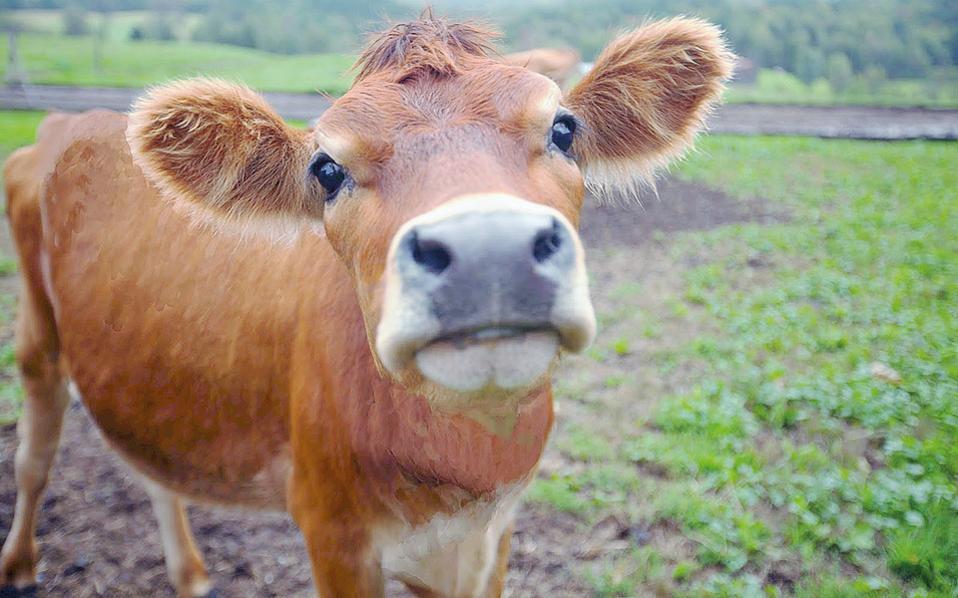 Αγελάδα, λίγο πριν επιβιβαστεί σε μία από τις πτήσεις με προορισμό το Κατάρ.