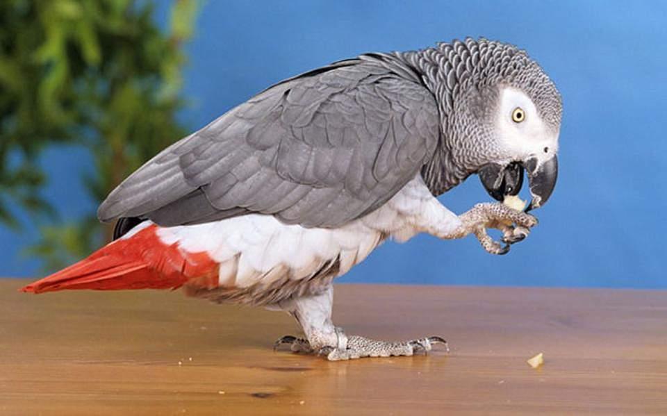 parrot-thumb-large