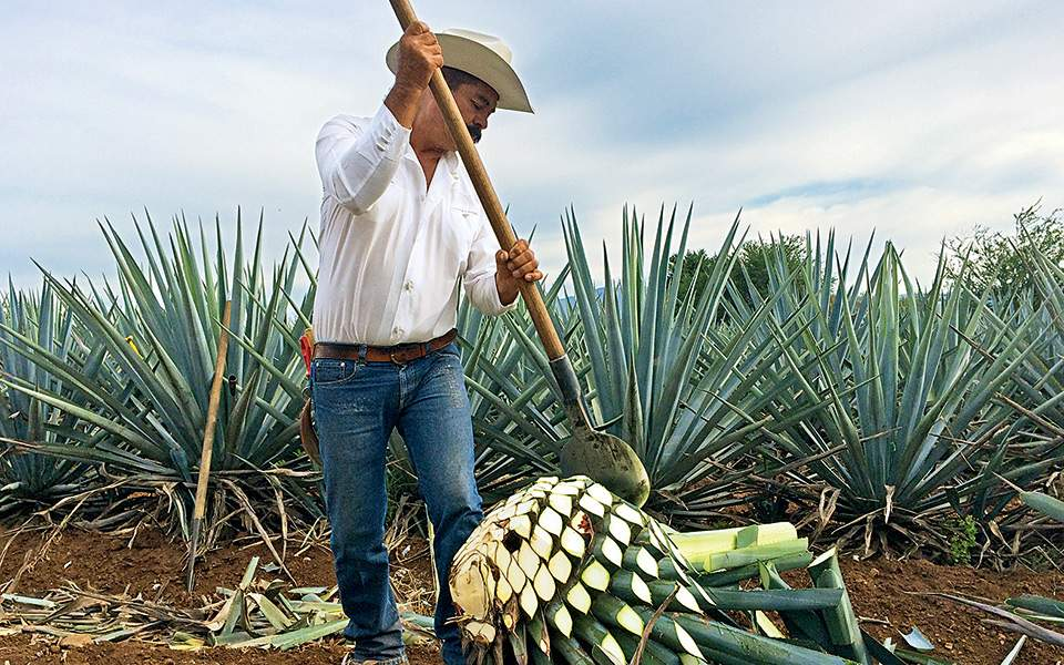 tequilla-blue-agave-plant