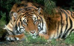 tiger-south-china-tiger-wallpaper-thumb-large--2