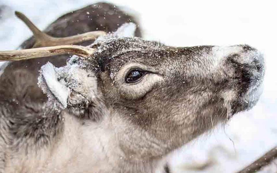 reindeer12-thumb-large