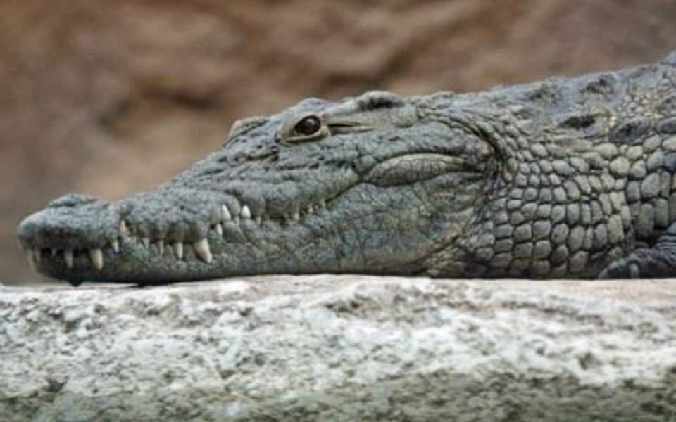 krokodeilos