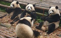 panda-317980_960_720