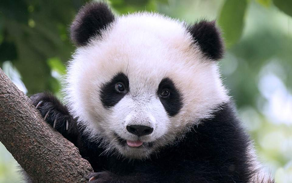 animal-hero-panda3-2018-san-diego-zoo-global