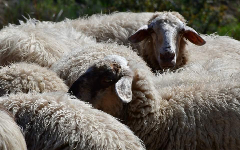 προβατα κοπαδι