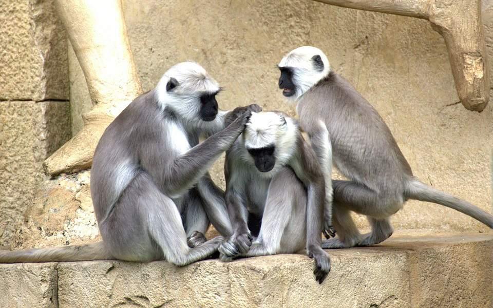Κινέζοι επιστήμονες κλωνοποίησαν μαϊμούδες με άγχος 434bff0de0b