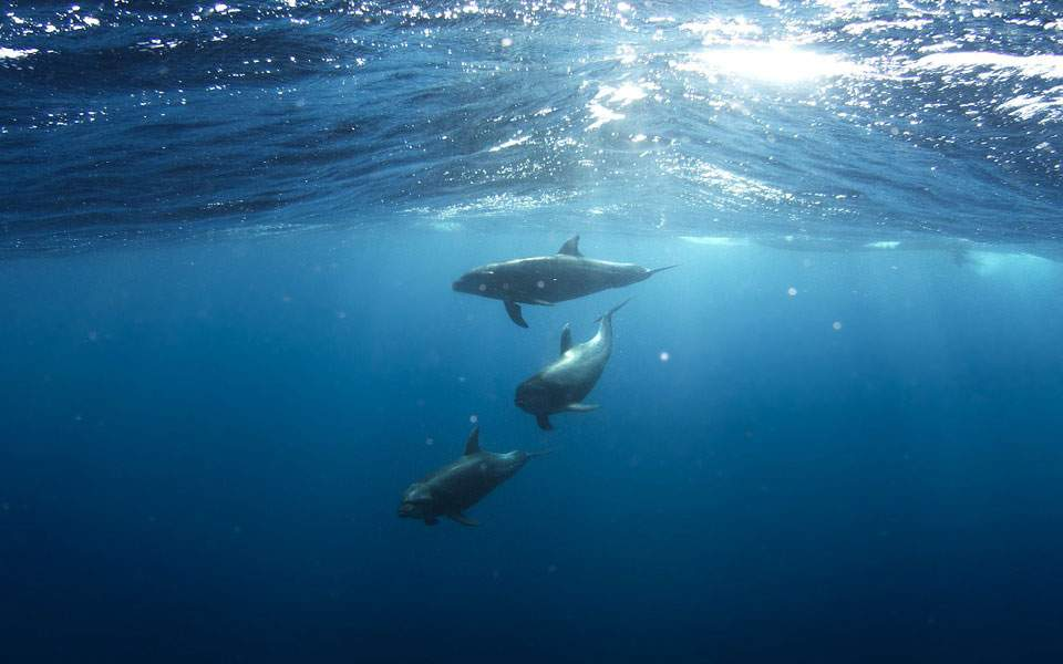 dolphins-918752_960_720