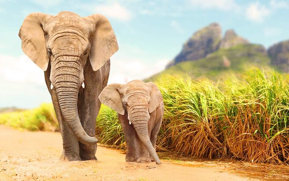 elefantas