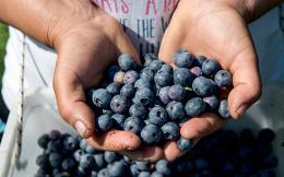 nor_blueberry_anargiri_51