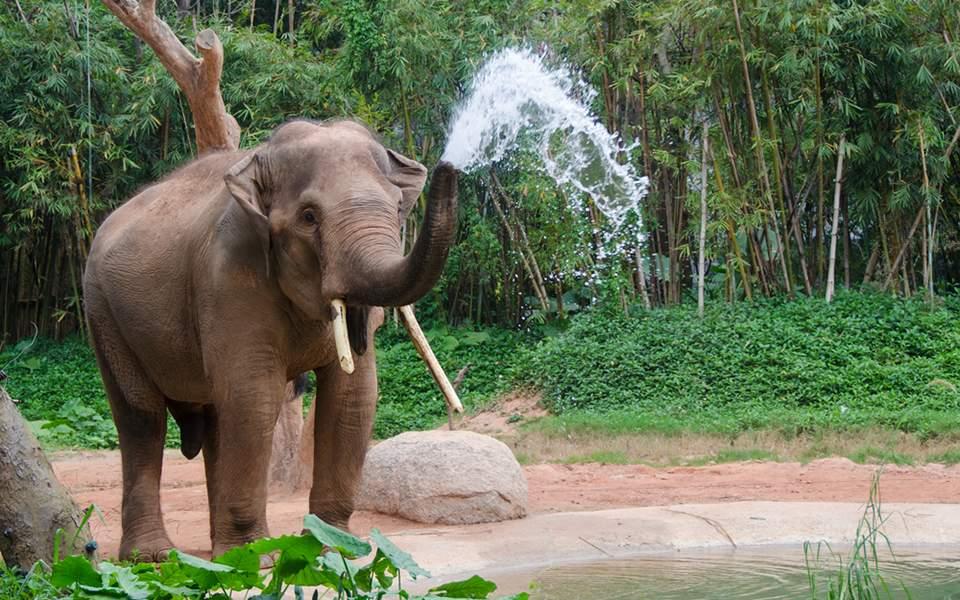 elefantass