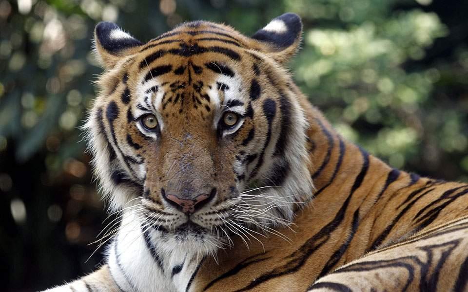 tiger-thumb-large